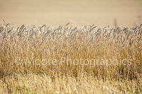 Wheat ready for harvesting