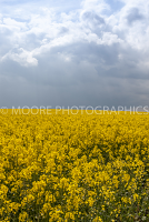 Oilseed Rape field with dramatic sky