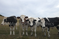 Bullocks being inquisitive