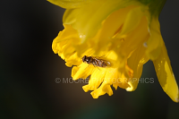 Insect on Daffodil