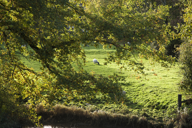 Sheep through trees