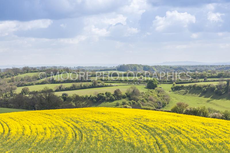 Oilseed Rape fields near Bath