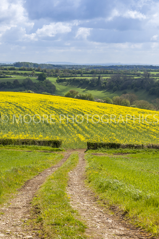 Oilseed Rape fields near cold ashton bath