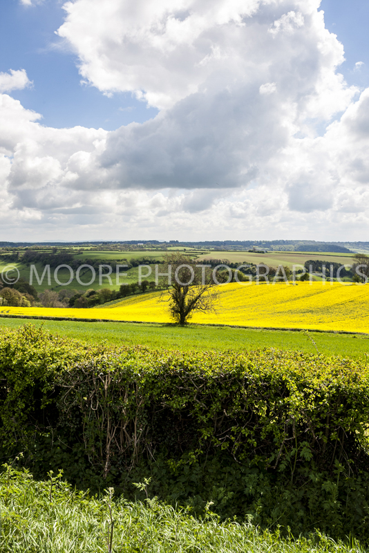Oilseed Rape field with single tree