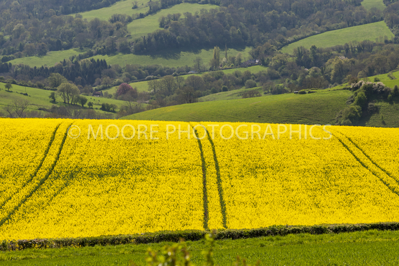 Oilseed Rape field near Bath