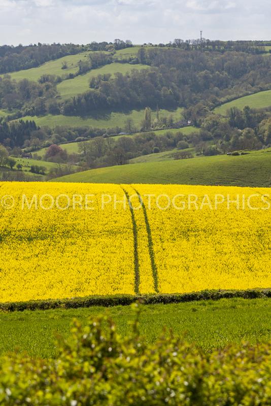 Oilseed Rape field near Bath with single tractor path