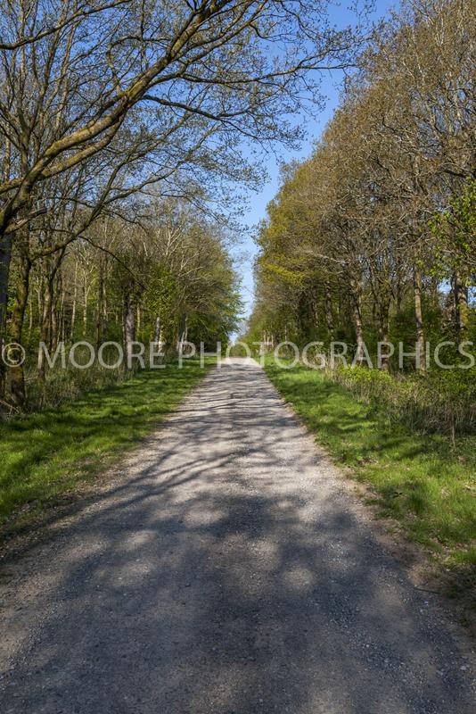 Straight lane through tall trees