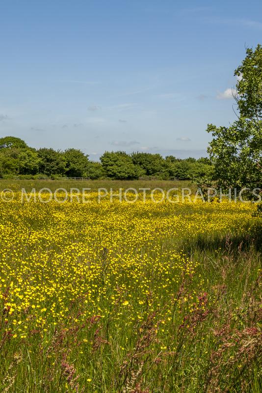 Buttercup meadow in Devon