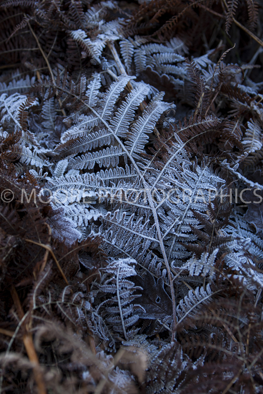 Frozen fern leaf with crispy white ice
