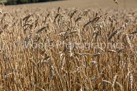 Wheat ready for harvesting close-up
