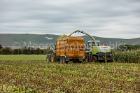 Cutting maize in the vale of Pewsey with White Horse