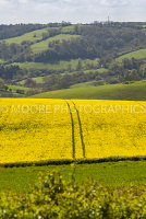 Oilseed Rape field near Bath with single tractor path