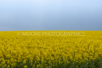 Oilseed Rape field with cloudless sky