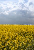 Oilseed Rape field with dramatic sky