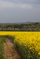 Oilseed Rape field with overcast sky