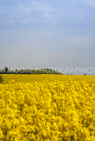 Oilseed Rape field with sunny sky