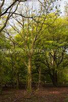 Beach tree in woods