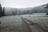 Frosty morning with cows in field