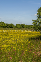 Buttercup meadow in Devon