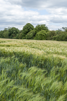 Barley field in Wiltshire