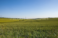 Green wheat field near Wantage