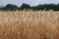 Winter barley ready for harvesting in Wiltshire